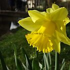Daffodil  by Caroline Smalley