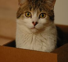 Box Kitty by Michelle Jarvie