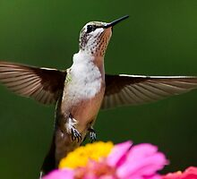 Hummingbird by Christina Rollo