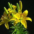 Asiatic Lily (Yellow) by Bev Pascoe
