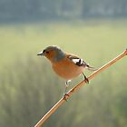 Chaffinch by Giulia Mauri