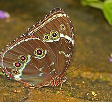 Richard's Morpho Butterfly by Robert Abraham