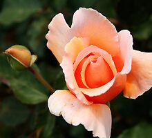 Peach Rose Bud by Laurel Talabere