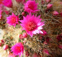 Cactus Flower by CjbPhotography