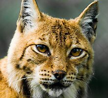 Lynx by peterwey