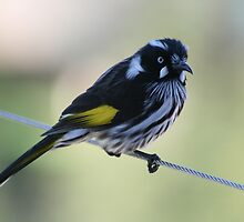 New Holland Honeyeater by Joy Watson