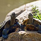 A Tale of Two Turtles by Tony Steinberg