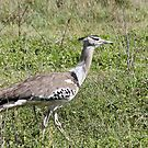 Kori Bustard by Nickolay Stanev