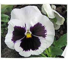 Pansy Bold and Beautiful Poster