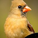 Female Cardinal Portrait by imagetj