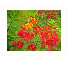 Miniature poinciana tree flowers Art Print