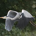 Grey Heron in Flight by TheGolfer