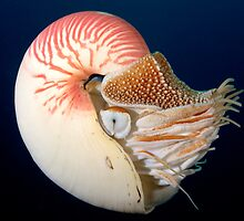 Chambered Nautilus by Andrew Trevor-Jones