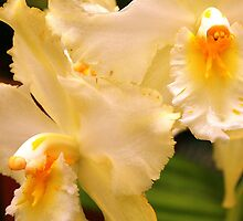 Cream & Yellow Orchids (cattleya) by Laurel Talabere