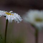 Raindrops on daisies by Denise Goldberg
