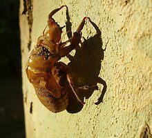 Cicada Husk - As Is by skyhorse