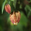 Chinese Lantern Buds by Joy Watson