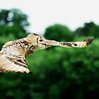 Eagle Owl in flight by Owen Burke