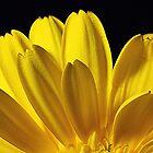 Yellow Zetia-macro by henuly1