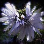 Chicory Flowers by Marilyn Harris