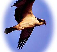 Osprey in Flight by Dennis Stewart
