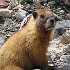 Marmot, San Juan Mountains by Shawn Powell