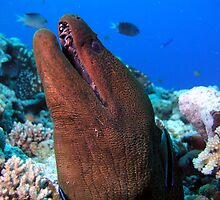 Giant Moray Eel GBR by fergy