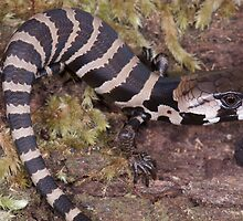 Pink-tongued skink by Stewart Macdonald