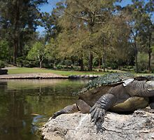 Brisbane River turtle by Stewart Macdonald
