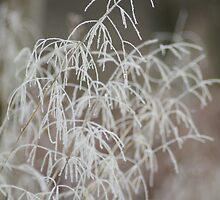 Frosty Grasses by Abigail Allardyce