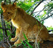 Lion Cub, Zambezi National Park, Zimbabwe by vadim19