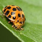 Ladybug 28 Spots by earthsmate