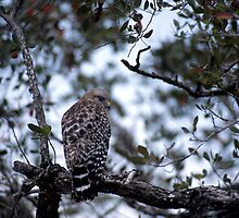 Short-tail Hawk by Roger Otto