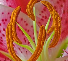 Pink Oriental Lily by Claire  Farley