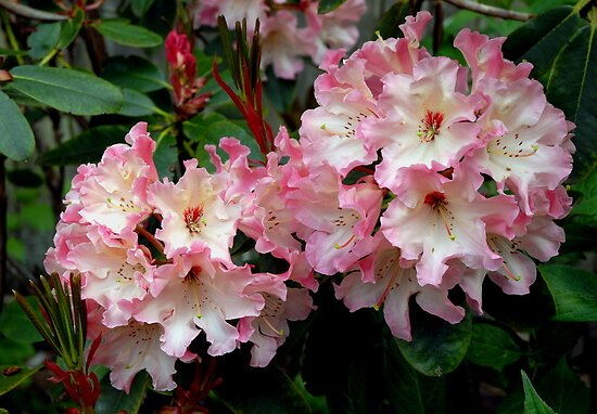 A Perfect Spring Rhododendron by Marjorie Wallace