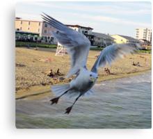 1 Gull Begging Canvas Print