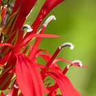 Cardinal Flower Details by Jean Gregory  Evans