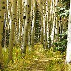 Colorado Autumn Aspens by susannamike
