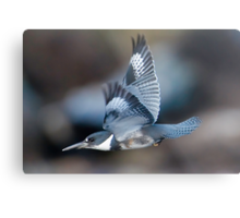 Male Belted Kingfisher at Speed Metal Print