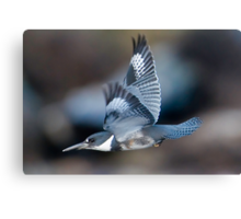 Male Belted Kingfisher at Speed Canvas Print
