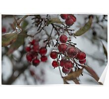 Frosted American Holly  Poster