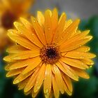 Gorgeous Gerbera with Raindrops by kathrynsgallery
