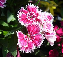 Dianthus by Rainy