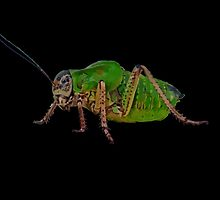 Katydid Vector On A Black Background by taiche