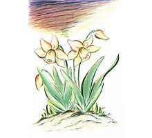 Glorious Daffodils Photographic Print
