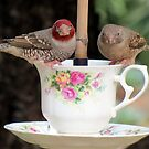 Redheaded finch: Male and female  by Elizabeth Kendall