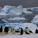 Gentoo Penguin Colony, Antarctic Peninsula by David Jamrozik