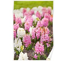 Hyacinthus blooming pink and white plants Poster