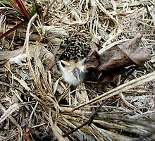 Curlew chick by robmac