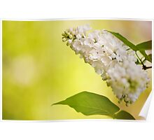 Lilac white flowers bloom Poster